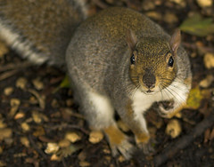 squirrel1 (LL01773) Tags: park autumn colour tree cute green london nature grass animal grey squirrel wildlife hyde creature sigma70200mmf28exdg