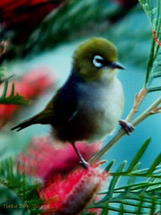 Alert (Catching Magic) Tags: newzealand painterly bird art olympus e300 tiraudan silvereye 800mm 43rdsomadapter om12teleconverter om200mm