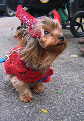little devil (istolethetv) Tags: nyc dog eastvillage newyork halloween photo foto image lowereastside snapshot picture halloweencostume terrier photograph devil pooch   halloweendogs tompkinssquare dogsincostumes dogcostume halloweendogparade devilcostume tompkinssquareparkdogparade newyorkdogs eastvillagedogparade tompkinssquaredogparade canetravestito caneincostume halloweencostumesfordogs