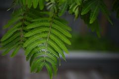 Silk tree (Kiwi Jono) Tags: pentax pentaxk1 smcpfa50f14 silk tree