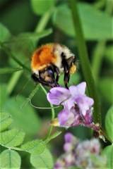 1595 FAIRE LE PLEIN (rustinejean) Tags: rustine bourdon animal nature fleur f flower ff