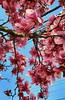 Spring Awakening (SurFeRGiRL30) Tags: magnoliatree magnolia pink petals pinkwhite spring springtime sunshine sunny bluesky blueskies beautiful gorgeous pretty tree nature myfavorite april nj newjersey