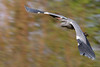 Grey Heron / Graureiher (eric-d at gmx.net) Tags: heron graureiher eric wildlife