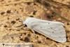 Agreeable Tiger Moth - Hodges#8134 (Spilosoma congrua) 20180408_5734.jpg (Abbott Nature Photography) Tags: neoptera noctuoidea lepidopterabutterfliesmoths erebidaetigermothslichenmoths endopterygota pterygota organismseukaryotes animals hexapoda arthropodaarthropods invertebratainvertebrates insectainsects moth gordo alabama unitedstates us