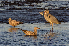 Great Blue Heron with Fish and Herring Gulls....6O3A9049CR2A (dklaughman) Tags: greatblueheron heron gull herring bombayhooknwr delaware