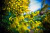 Sensibilite (moaan) Tags: kobe hyogo japan jp mimoza springtime outdoor botanic flower flowering dof depthoffield bokeh bokehphotography leica leicamp type240 summarit 50mmf15 leicasummarit60mmf15 leicaphotography utata 2018