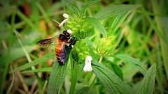 For Life! (pearlya) Tags: bumblebee fly hive bee insect food honeybee honey natgeo jamalpur bird macro flower grass plant garden bangladesh tarakandi travel nikon coolpix p530