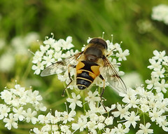 Tapered Drone Hoverfly (wild anona) Tags: insects macro harlow carr