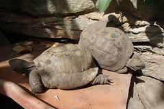 4348 (bluefootedbooby) Tags: tartaruga rettili turtle