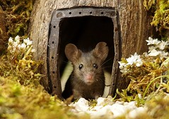 George the mouse in a log pile house (1) (Simon Dell Photography) Tags: house mouse log pile door coconut mossy moss logs wood stack garden wild wildlife cute funny detail close up awesome viral ears eyes george mini mildred sheffield s12 hackenthorpe decorated summer images mice two mouses animals rodents