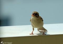 Dit Jeanda, tu as fait le plein de ma gamelle ? (Jean-Daniel David) Tags: oiseau moineau closeup grosplan nature bokeh ombre barrière balcon yverdonlesbains suisse suisseromande vaud