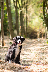 A tree-lined path (Captain192) Tags: manualfocus adaptedlenses nikon nikon105mmf25 bagworth leicestershire bagworthheath dog dogs collie spaniel spanielcolliecross sprollie nationalforest trees footpaths woods