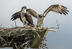 Osprey.... (Kevin Povenz Thanks for all the views and comments) Tags: 2018 june kevinpovenz northcarolina outerbanks bird birdsofprey birds wildlife nature outdoors outside morning nest nestingplatdorm canon7dmarkii sigma150500 wings osprey sticks twigs