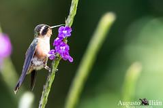 DSC_7337.jpg (Augusto Ilian G) Tags: colibrípechipunteado adelomyiamelanogenys speckledhummingbird