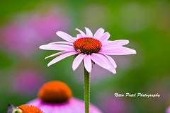 IMG_6134 (nitinpatel2) Tags: flower nature nitinpatel