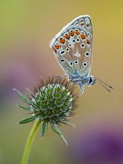 Chalkhill Blue (Damian_Ward) Tags: ©damianward buckinghamshire bucks naturereserve countryside rural grangelands butterfly butterflies lepidoptera greatkimble macro chalkhillblue lycaenidae polyommatuscoridon