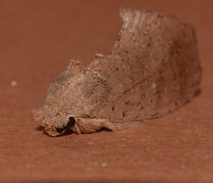 Plain speckled owlet moth Omichlis hadromeres Notodontinae Notodontidae Noctuoidea Airlie Beach rainforest P1390162 (Steve & Alison1) Tags: plain speckled owlet moth noctuoidea airlie beach rainforest omichlis hadromeres notodontinae notodontidae