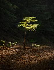 No Reprieve (Glenn D Reay) Tags: sapling tree young light heat hot warm woods woodland glennreay pentaxart pentax k70
