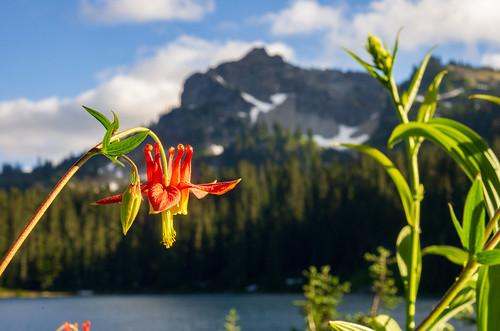 Flower at Dewey Lake in the Wm. O. Douglas Wilderness
