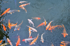 Koi fish on the pond (phuong.sg@gmail.com) Tags: themes abundance angle animals aquatic asia asian backgrounds blue carp color colored day fish frame full good gray group high horizontal idyllic image japan koi lake large luck multi nippon outdoors pets photograph photography pond red scene sunlight swim swimming tranquil travel underwater view water white wildlife yellow zen