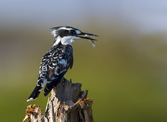 Pied Kingfisher (Arshad Aashraf) Tags: animal animalthemes arshadashraf beautyinnature bird birdslover colour feeding fish kiingfisher nature naturephotography nautrallight nopeople outdoor style wildlife wildlifephotoes tree wood sky