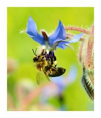 Hungry bee (Graham Pym On/Off) Tags: nikon pollen petals nectar blue feeding ngc coth5 alittlebeauty rainbowofnature greatphotographers