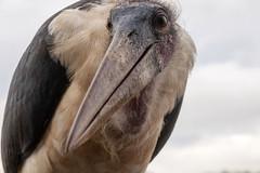 Marabu - Zimanga - South-Africa (wietsej) Tags: marabu zimanga southafrica bird portrait nature sony rx10m4 rx10iv rx10 iv