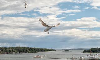 European herring gull / Gråtrut (Larus argentatus)