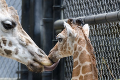 2018-07-28 (silare) Tags: lulu tufani lick kiss tongue affection parent child daughter mother baby young animal giraffe giraffacamelopardalisreticulata zoo woodlandparkzoo seattle washington reticulatedgiraffe