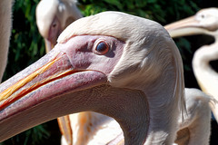 Pelikan (ingrid eulenfan) Tags: zoo hannover tier animal vogel bird 7dwf