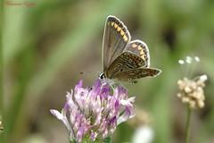 Argus bleu femelle (Ezzo33) Tags: france gironde nouvelleaquitaine bordeaux ezzo33 nammour ezzat sony rx10m3 parc jardin papillon papillons butterfly butterflies specanimal argus bleu ou azuré commun polyommatus icarus