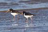 IMG_5833-1.jpg (Leo Kramp) Tags: 2018 vogels goedereede scholekstersteltloper accessoires kwadehoek natuurfotografie dieren benrogimbalheadgh2 flickr gitzogt3542ltripod zuidholland nederland nl