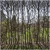 xhoffraix 18 (beauty of all things) Tags: belgien belgium xhoffraix hohesvenn quadratisch hecken hedges throughthetrees