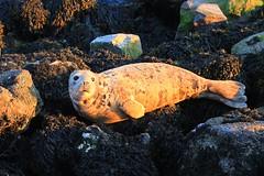 Inquisitive seal (Steve M Photography) Tags: seal brixham devon harbour mammal aquatic sealife port wildlife animal flipper