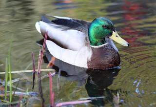 Quacking