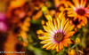 Fire in Spring (frederic.gombert) Tags: flower flowers bunch bloom blossom spring light orange color macro daisy