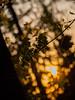 _4200081.jpg (WSz1988) Tags: maple leaf bokeh backlight