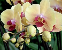 Nurture (Anne Marie Clarke) Tags: yellow pin nurture nursery buds greenhouse fuschia pink 7dwf monday