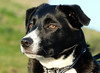 Wise Eyes (manxmaid2000) Tags: dog collie eyes canine pet blackandwhite browneyes puppy collar whiskers doggy gaze