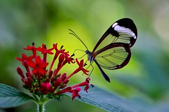 Glasswing butterfly (sylviafurrer) Tags: schmetterling butterfly gretaoto durchsichtig transparent tropisch tropical inselmainau butterflyhouse glasswingbutterfly waldgeist glasflügelfalter