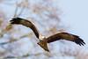 Kite (Click U) Tags: weyhill hawk conservancy trust kite