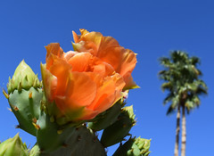 Orange, Orange (oybay©) Tags: pricklypear pricklypearcactus cactusflower cactus flower flora flores fleur fiori blumen macro bokeh arizona suncitywest frontlawn color colors colorful
