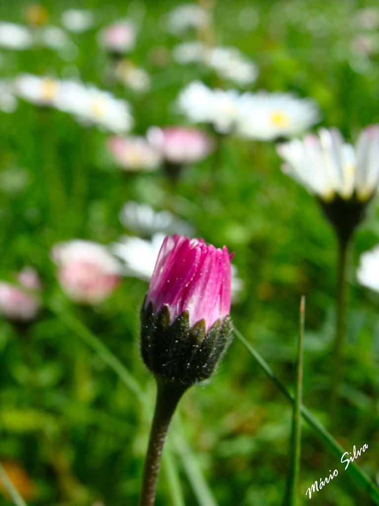 Águas Frias (Chaves) - ... flor campestre ... prestes a desabrochar ...