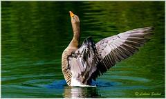 King of the lake! (lukiassaikul) Tags: wildlifephotography wildanimals wildbirds goose wildgoose greylag greylaggoose wings wingspan wingsflapping lake water grooming weststowcountrypark uk urbanwildlife