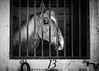 13 (Jen MacNeill) Tags: horse horses equine show blackandwhite bnw bw stall stable 13