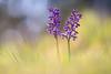 Kleines Knabenkraut (MichaelMerl) Tags: orchid orchidee oberpfalz kleines knabenkraut nikon sigma colorful light bokeh