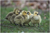 Frustrations of Slow Traffic (westcoastcaptures) Tags: brantacanadensis cute babies birds geese canadageese twigs grass group bunch goslings yellow green