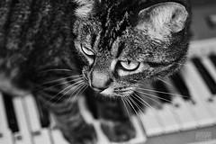 Pianocat (MillePie) Tags: pet animal blackandwhitephotography piano cat