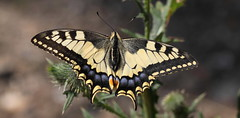 """Papilio machaon"" (bugman11) Tags: papiliomachaon bug bugs butterfly butterflies canon 100mm28lmacro vlinder koninginnepage macro fauna insect insects animal animals nature nederland thenetherlands maastricht sintpietersberg bokeh platinumheartaward infinitexposure"