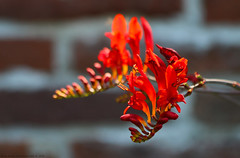 Beautiful Red (Rick & Bart) Tags: beeckestein nature flora flower rickvink rickbart canon eos70d macro wildflower natuur bloem beeckestijn ijmuiden nederland velsen red